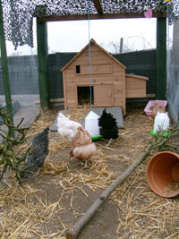 Cathy's chickens